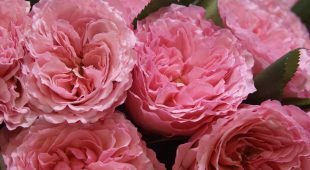 Nowość w Ofercie róża Mayra's Rose