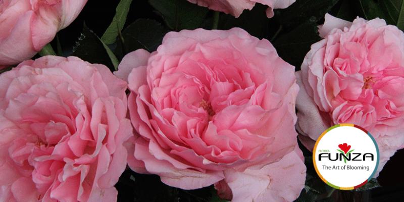 Róże ogrodowe NOWOŚĆ